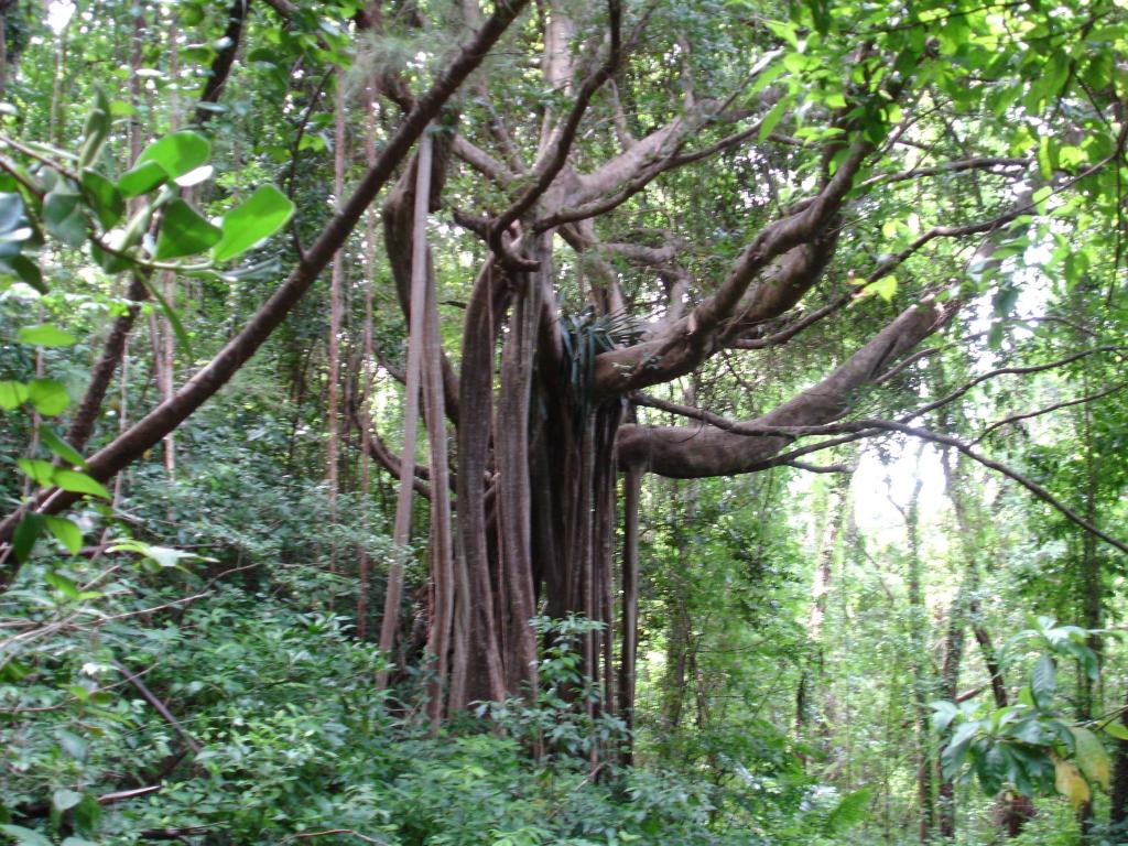 Bearded Fig Tree Barbados